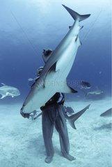 Shark handler handling Shark in hyptonic trance Bahamas