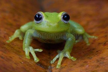 Polka-dot Tree-frog (Hypsiboas punctatus)  ex Hyla punctata - Matiti - French Guiana