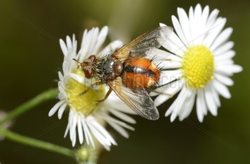 Tachinid Fly (Tachina fera) on annual fleabane (Erigeron anuus)  10 September 2015  Northern Vosges Regional Nature Park  declared a World Biosphere Reserve by UNESCO  France