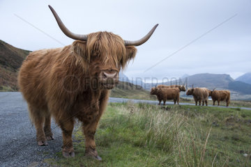 Highland cow on the road between Elgon and Torrin - Isle of Skye
