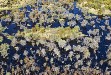 Mopane forest flooded in a swamp - Okavango Botswana