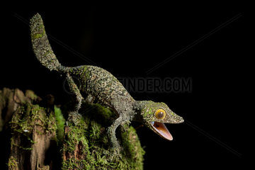 Mossy leaf-tailed Gecko in a defensive position - Madagascar