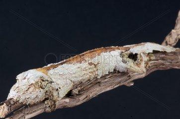 Leaf-tailed gecko (Uroplatus sikorae)  Madagascar