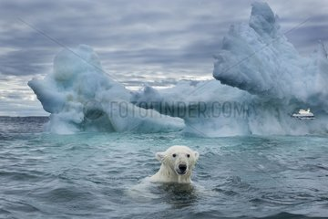 Polar Bear (Ursus maritimus) swimming near melting iceberg near Harbour Islands  Repulse Bay  Nunavut Territory  Canada