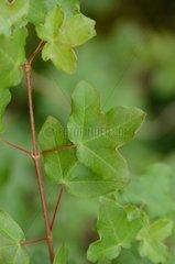 Montpellier Maple (Acer monspessulanum) Labeaume  Ardèche  France