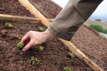 Planting Sedum on a green roof substrate
