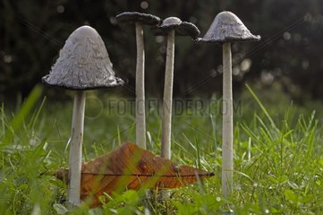 Shaggy ink cap growing in grass