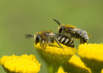 Davies' Colletes mating on Tansy - France
