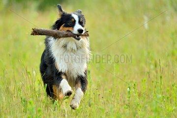 Australian Shepherd relating a stick - Burgundy France