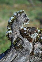 Vine frosty winter AOC of Côtes du Jura