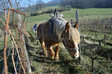 Labour of a vineyard with a Horse Comtois Jura