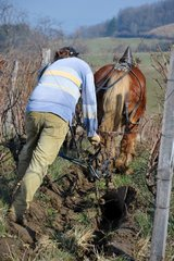 Labour of a AOC vineyard with Horse Comtois Jura