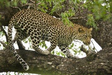 Leopard on a branch - Kruger NP South Africa