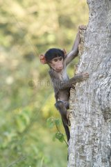 Young Chacma Baboon on a tree trunk - Kruger NP South Africa
