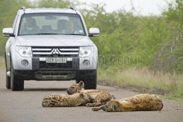 Spotted hyenas lying on the road and drive - Kruger