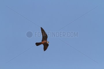 Eleonore Falcon in Flight - Alonissos Island Sporades Greece
