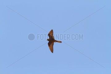 Eleonore Falcon in Flight - Alonissos Island Sporades Greece