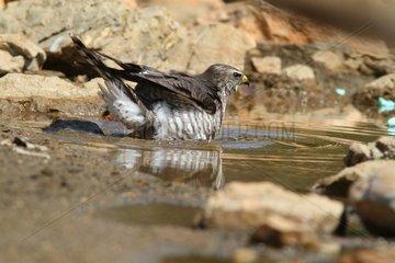 Levant Sparrowhawk - Alonissos Island Sporades Greece