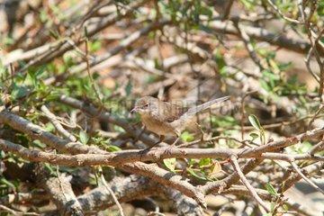 Sardinian Warbler - Alonissos Island Sporades Greece