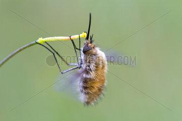 Bee fly (Bombyliidae sp) on pistil  Madrid  Spain