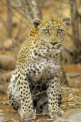 Leopard (Panthera pardus) on the lookout for a prey  Kruger  South Africa