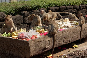 Long-tailed macaque (Macaca fascicularis) feeding on fruits and grains   Thailand
