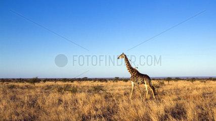 Giraffe (Giraffa camelopardalis) walking in savana  Kruger National park  South Africa