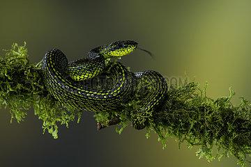 Talamanca Pit Viper (Bothriechis nubestris)  on mossy branch  Talamanca Mountains  Costa Rica  July