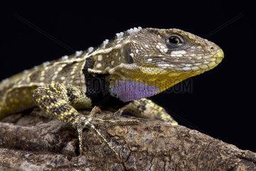 Peruvian purple throated lizard (Stenocercus imitator)  Peru