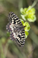 Southern Festoon (Zerynthia polyxena) Posed on an Euphorbia in spring  Massif des Maures  Hyeres surroundings  Var 83  France