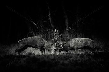 Red deers (Cervus elaphus) fghting  Belgium