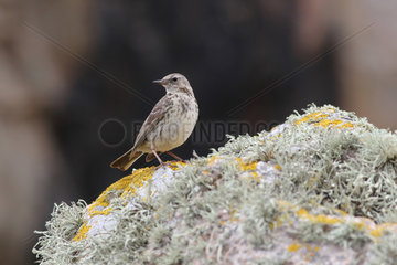 Rock pipit (Anthus petrosus) on a rock on the waterfront  Britain  France