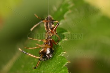 Female mimetic Spider moving suspended from its web Sieuras