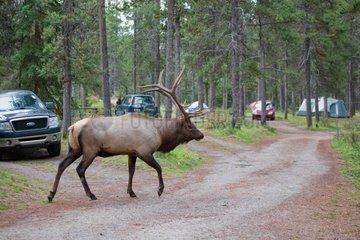 Bull elk walking in a camping PNJasper Canada