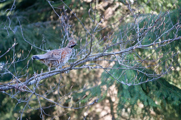 Hazel grouse male on a branch - Vosges France