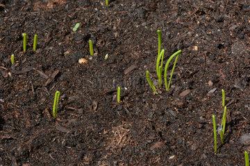 Young shoots of Cebette (Allium fistulosum)  Ardeche  France
