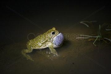 Natterjack Toad male singing at night - Guadarrama Spain
