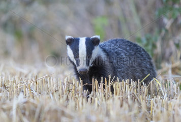 Badger (Meles meles) Badger looking for food amongst wheat stubbles  England  Spring