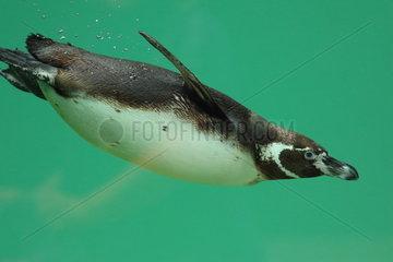 Humboldt penguin (Spheniscus humboldti) swimming