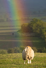Sheep (Ovis aries) Sheep standing in a rainbow  England  Spring