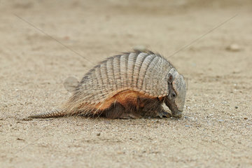 Hairy armadillo (Chaetophractus villosus)  Punta Norte  Valdes Peninsula  Argentina