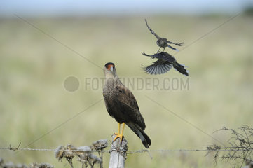 Caracara scolded by Mockingbirds Patagonia - Argentina