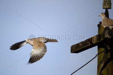 Collared dove in flight - Warwickshire