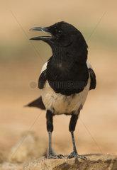 Magpie panting at spring - Spain