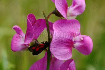 Sweet pea (Lathyrus sp) flowers  Ardeche  France