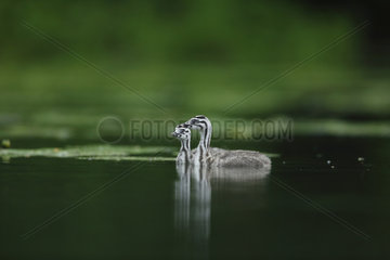 Young Great Crested Grebes on water - Alsace France