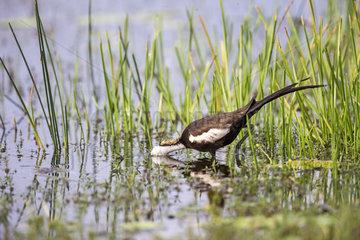 Pheasant-tailed jacana (Hydrophasianus chirurgus)  Wilpattu national patk  Sri Lanka
