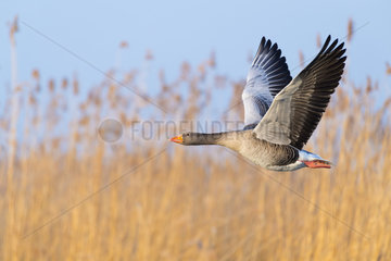 Greylag goose  Anser anser  Hesse  Germany  Europe