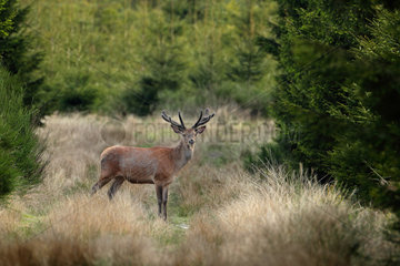 Red Deer (Cervus elaphus) male in velvet  Belgium