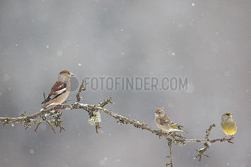Hawfinch and Greenfinch on branch in winter - Vosges France